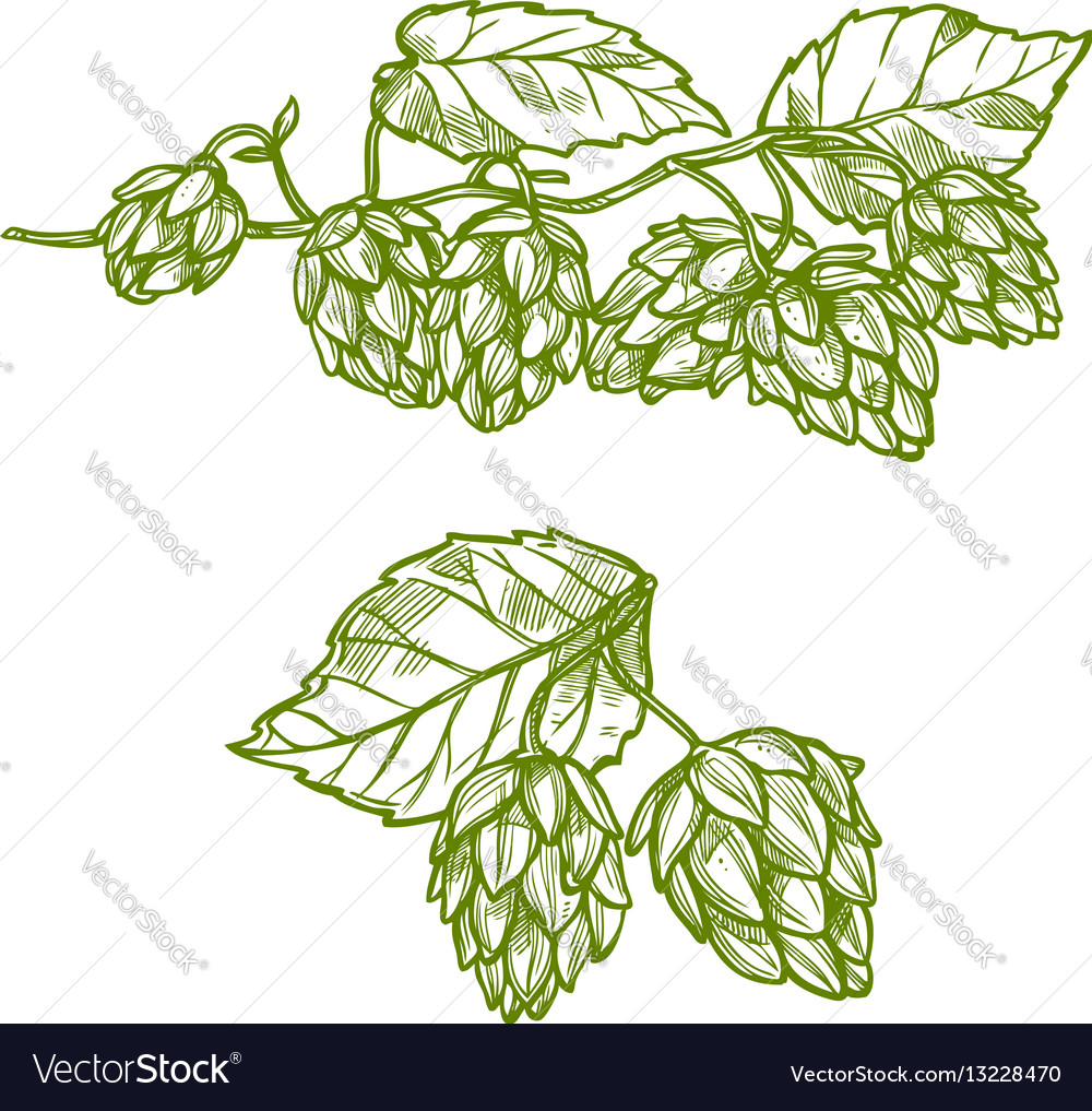 Hops plant sketch for food and drinks design