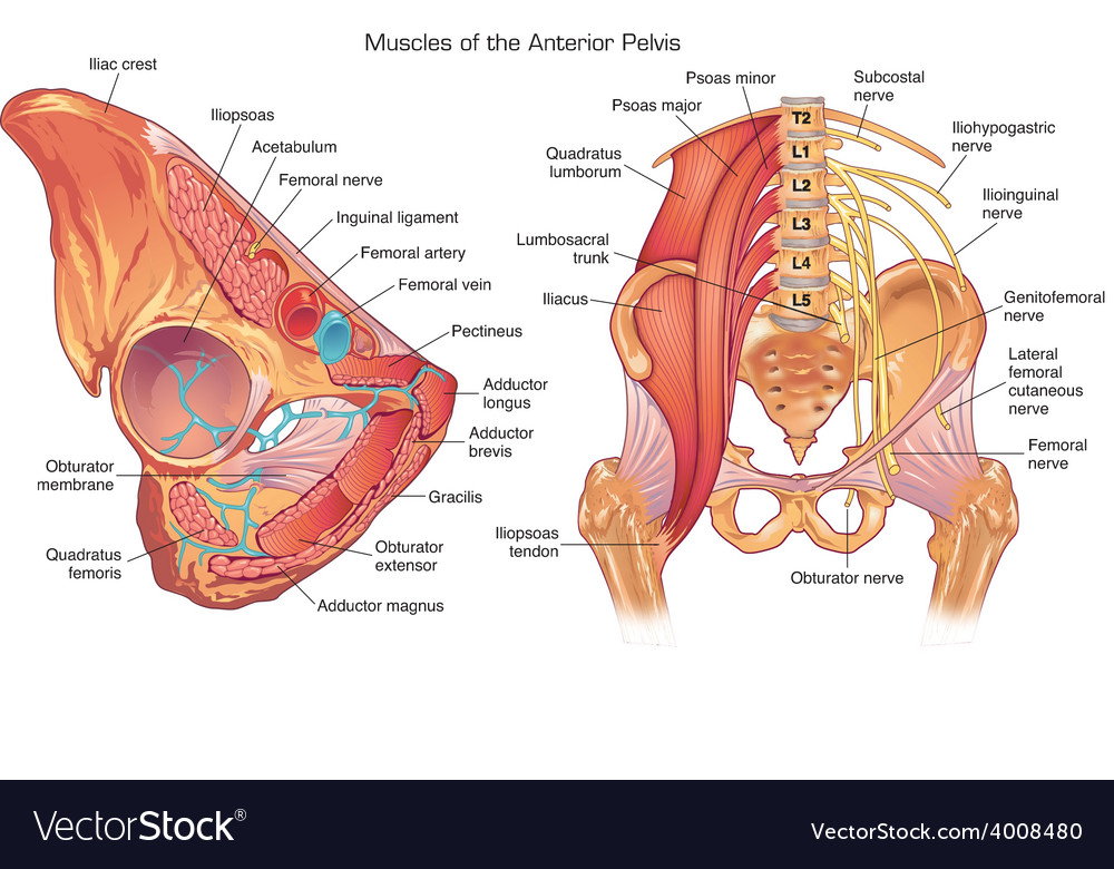 Muscles And Nerves Of The Anterior Pelvis Vector Image