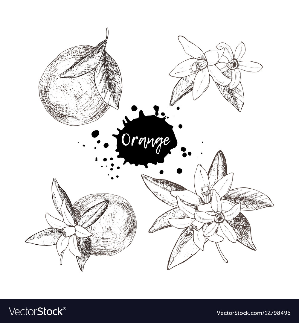 Set of isolated hand drawn oranges and flowers in