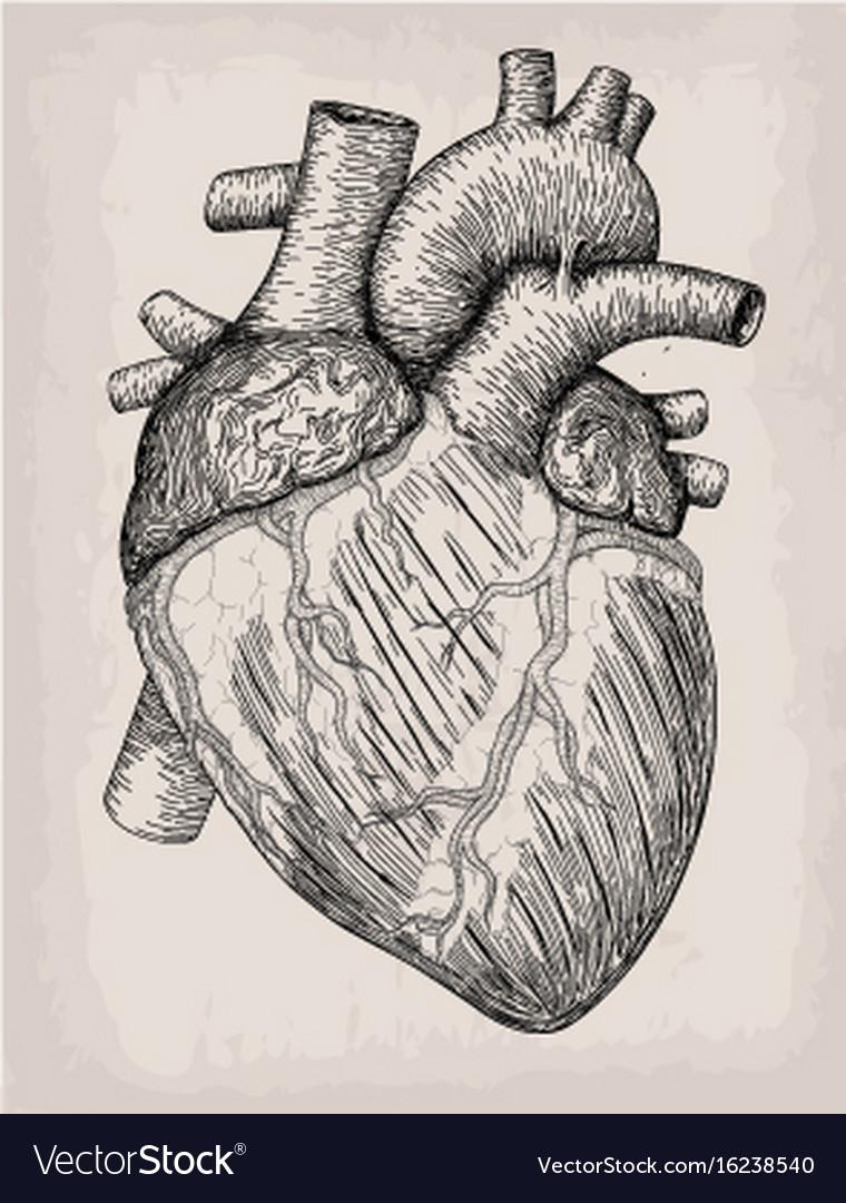 Human Heart Hand Drawn Anatomical Sketch Vector Image