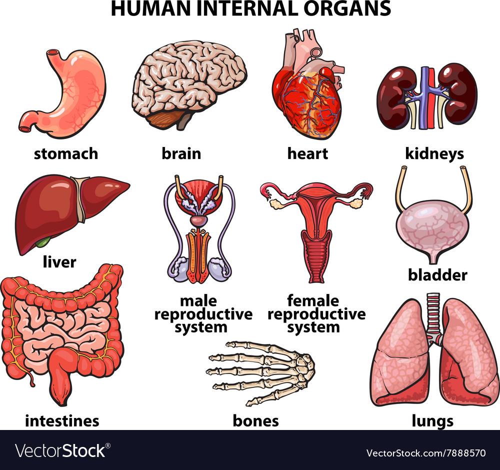 The internal organs of man set Royalty Free Vector Image