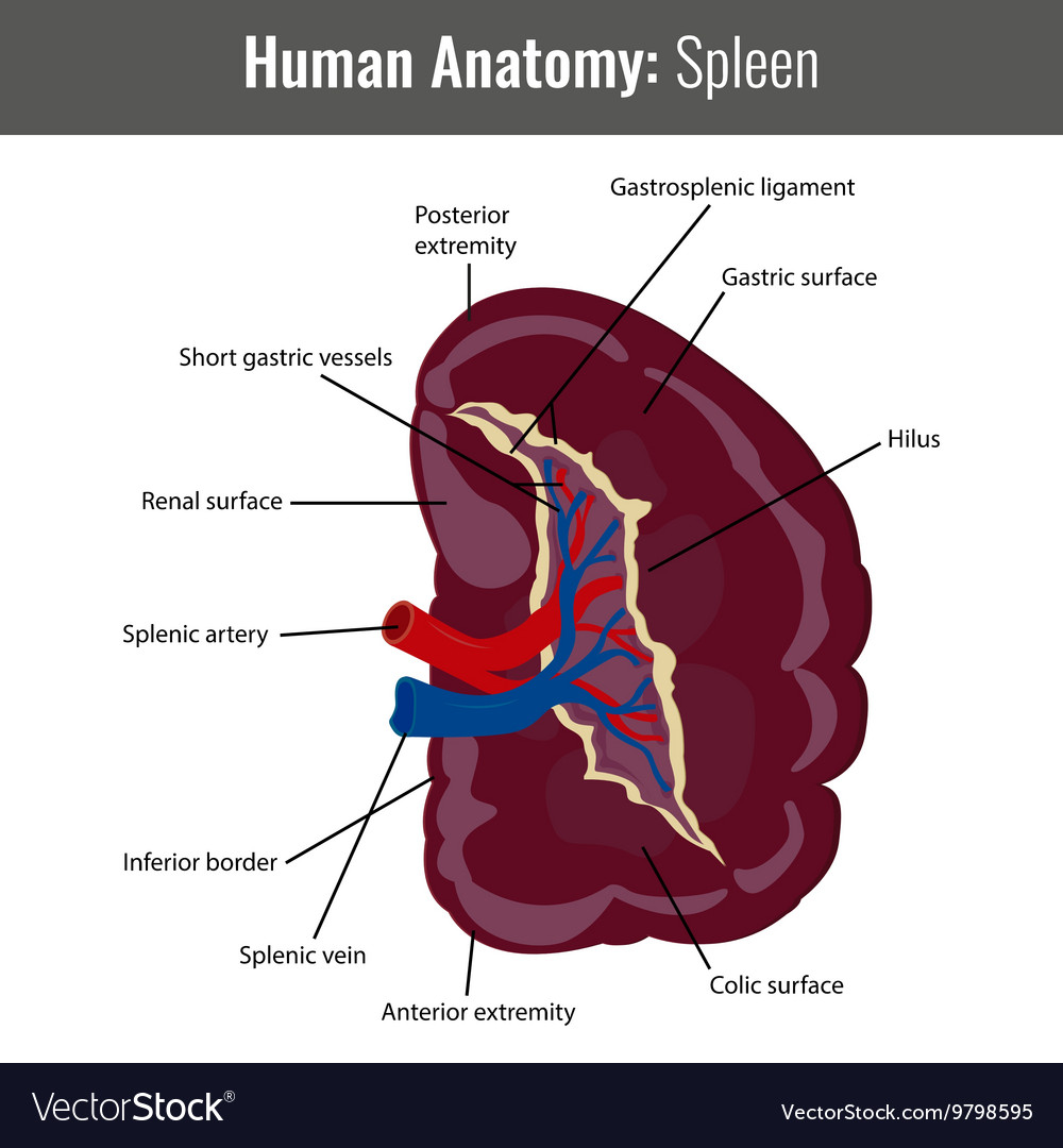 Human Spleen detailed anatomy Medical Royalty Free Vector