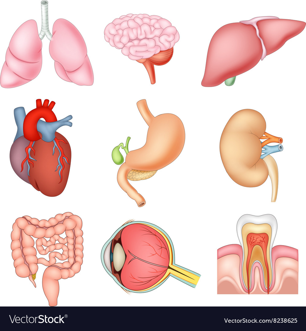 Cartoon Of Internal Organs Anatomy Royalty Free Vector Image