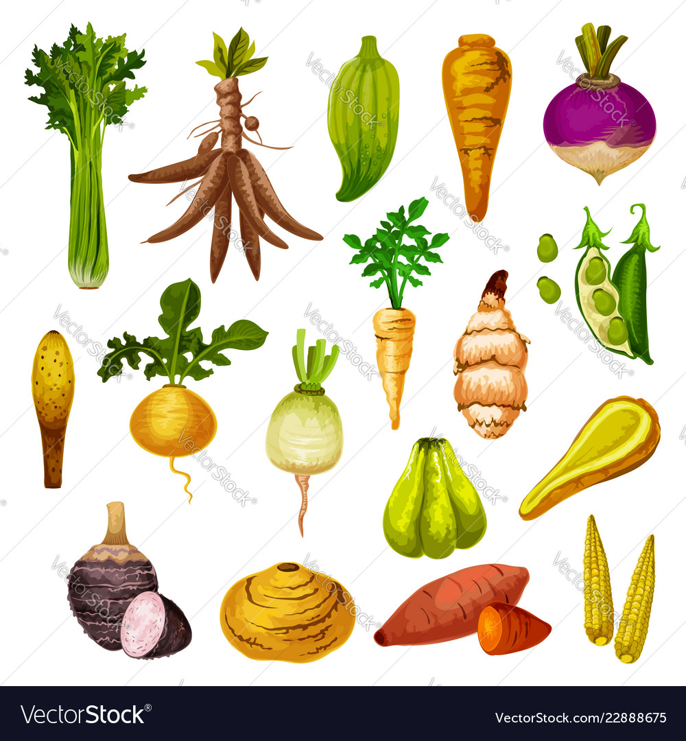 Exotic Root Vegetables And Veggies Royalty Free Vector Image