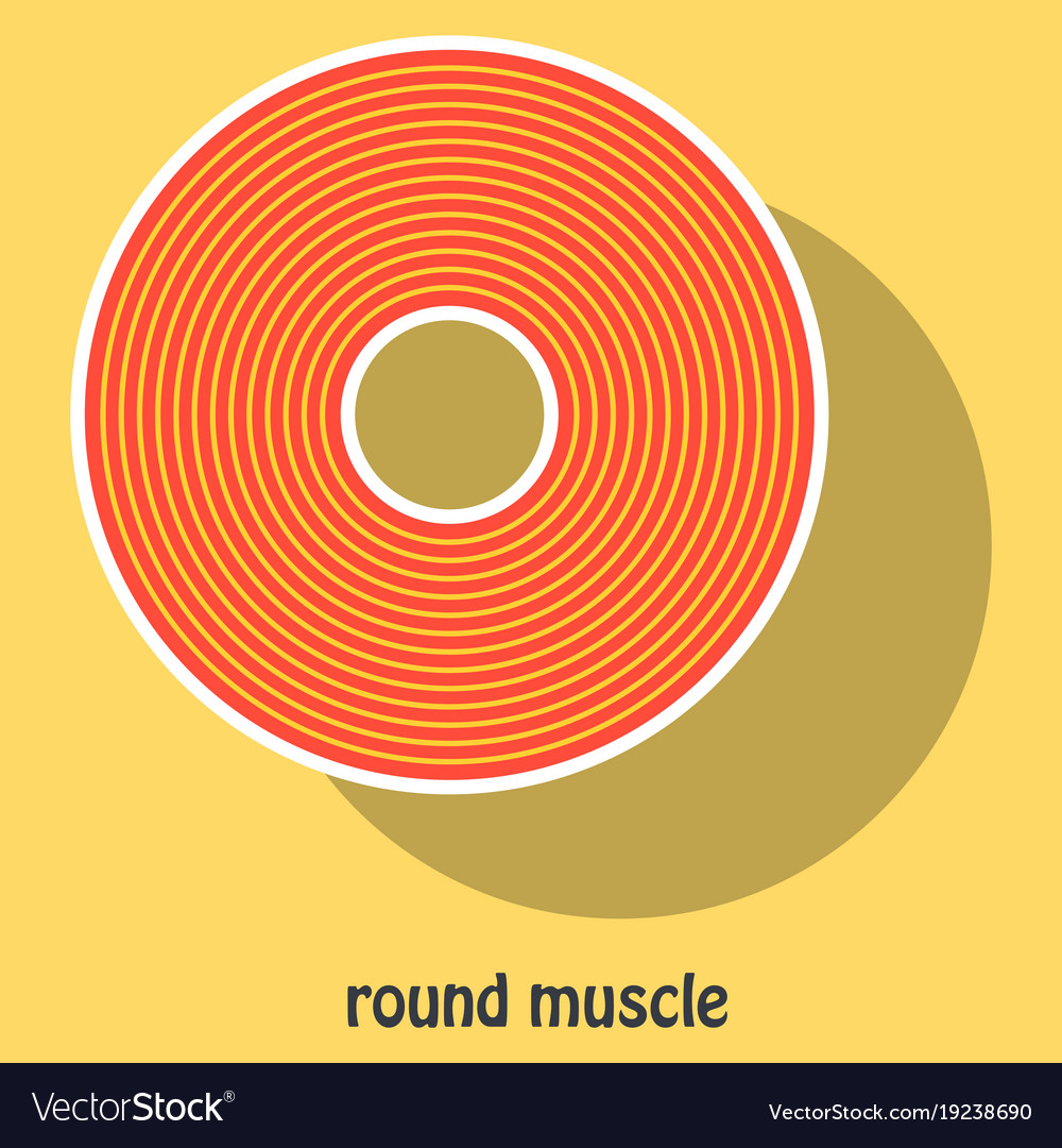 Structure Skeletal Muscle Anatomy Royalty Free Vector Image