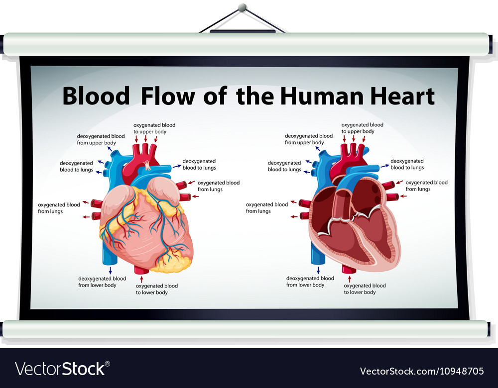 Diagram showing blood flow in human heart vector image ccuart Gallery