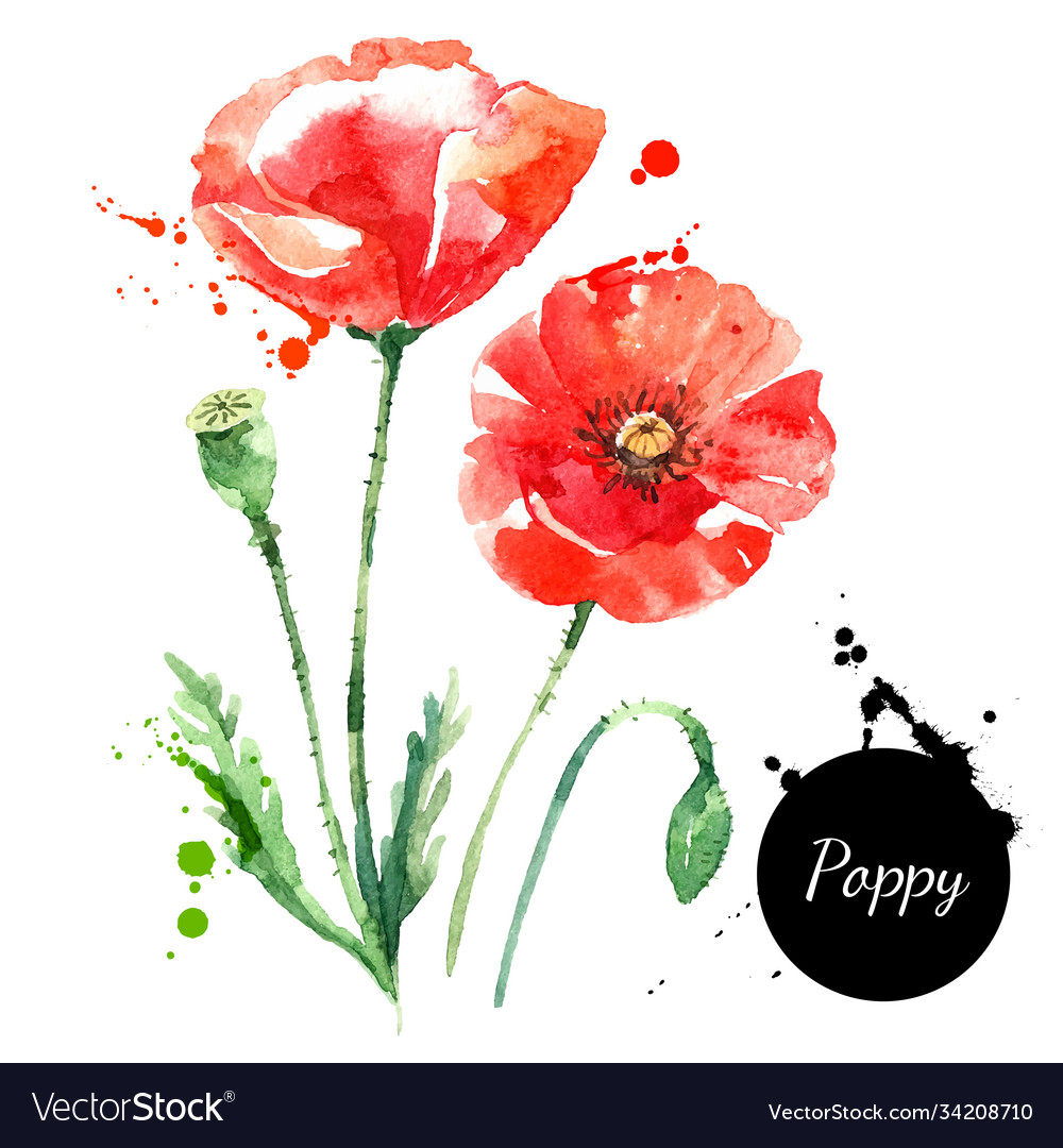 Hand drawn watercolor poppy painted sketch
