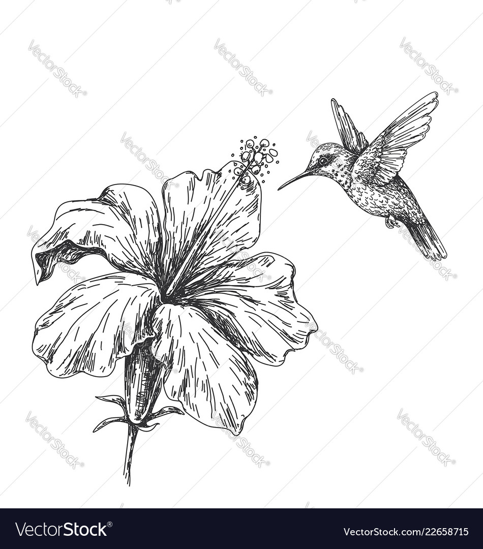 Flying humming bird near hibiscus sketch