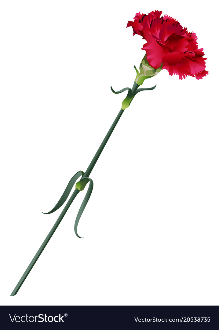 Red Carnation Flower Isolated Royalty Free Vector Image