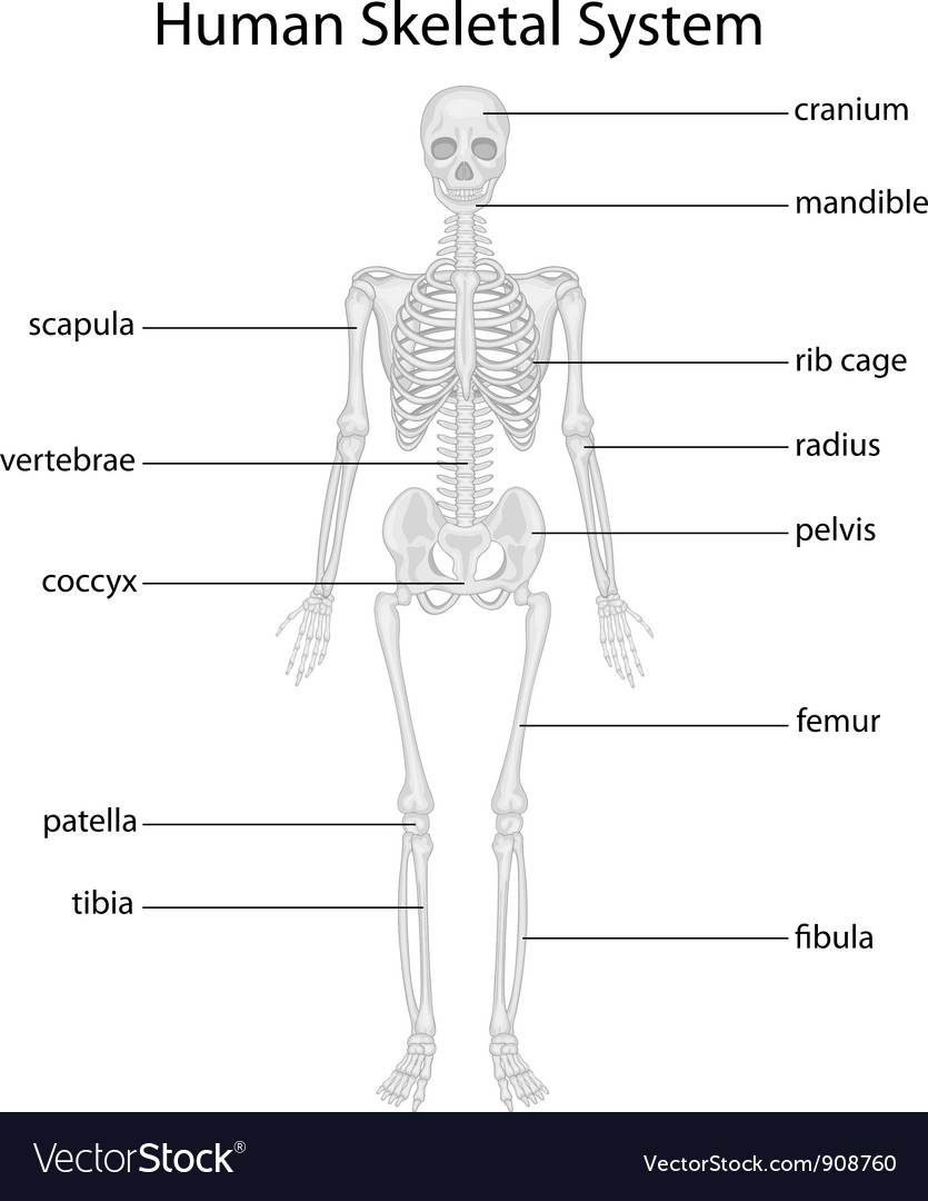 Pictures Of The Skeletal System 64