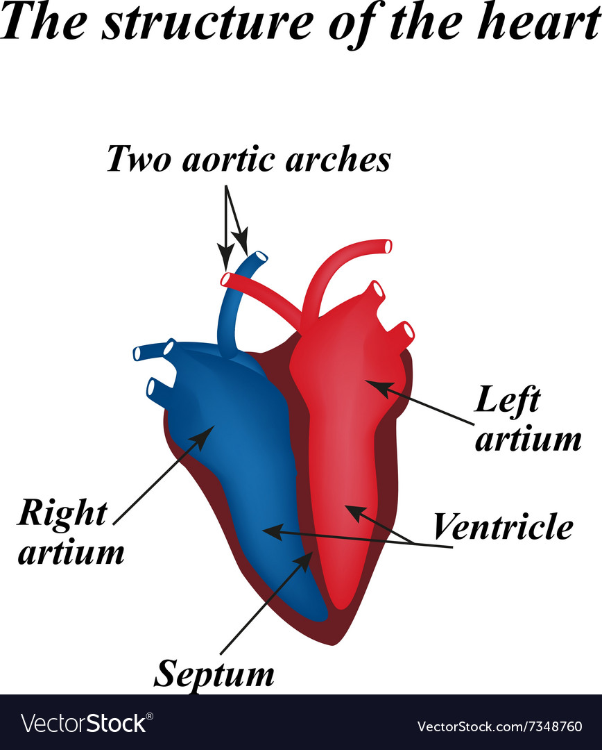 The Structure Of The Heart Infographics Royalty Free Vector