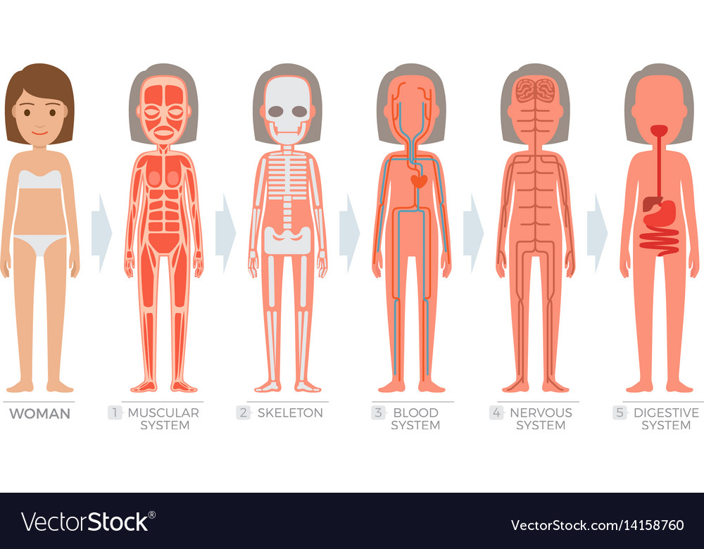 Woman Anatomy System And Structure Of Human Body Vector Image