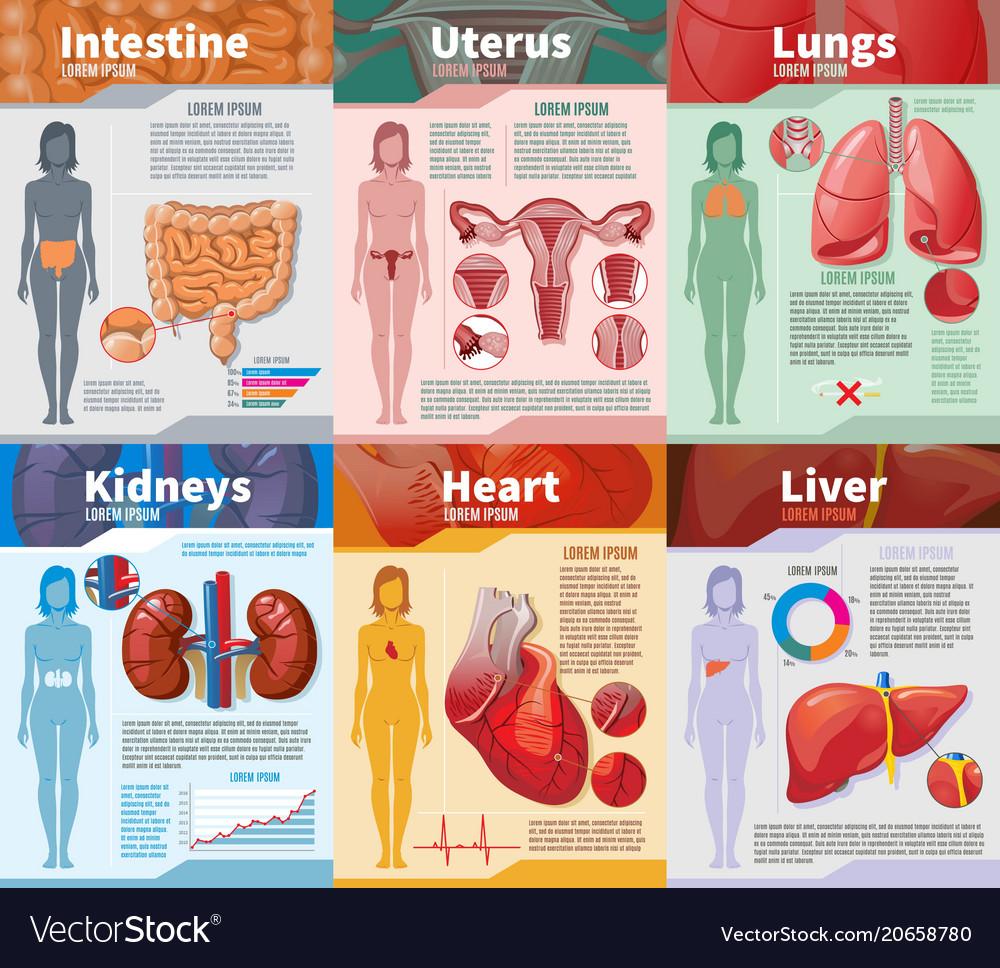 Cartoon human internal organs infographic template