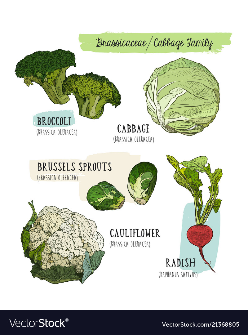 Various cabbage set cabbage broccoli brussels