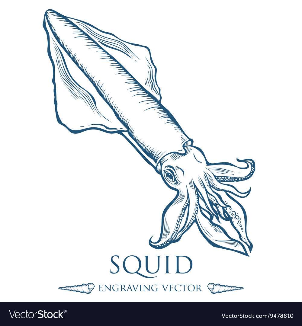 Squid Drawing vector image