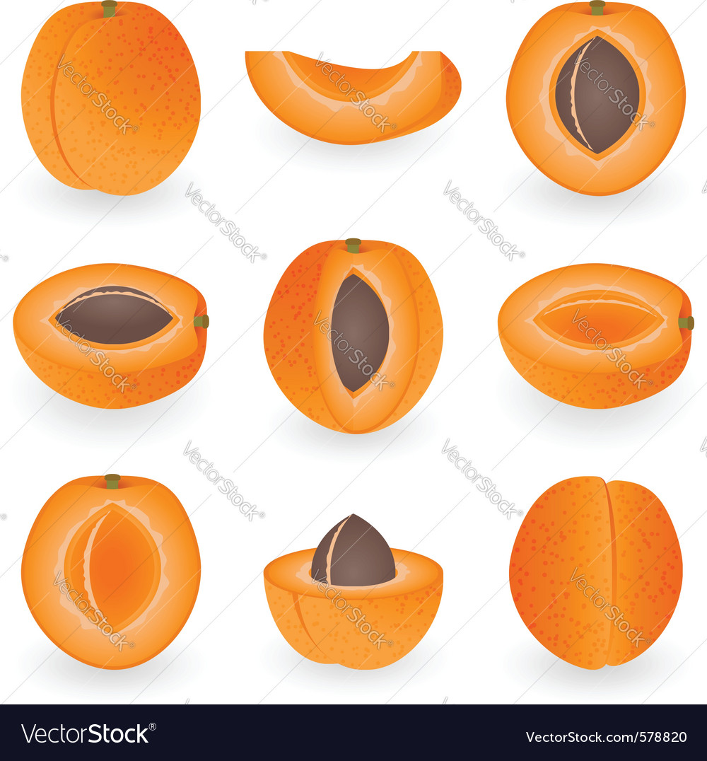Apricot vector image