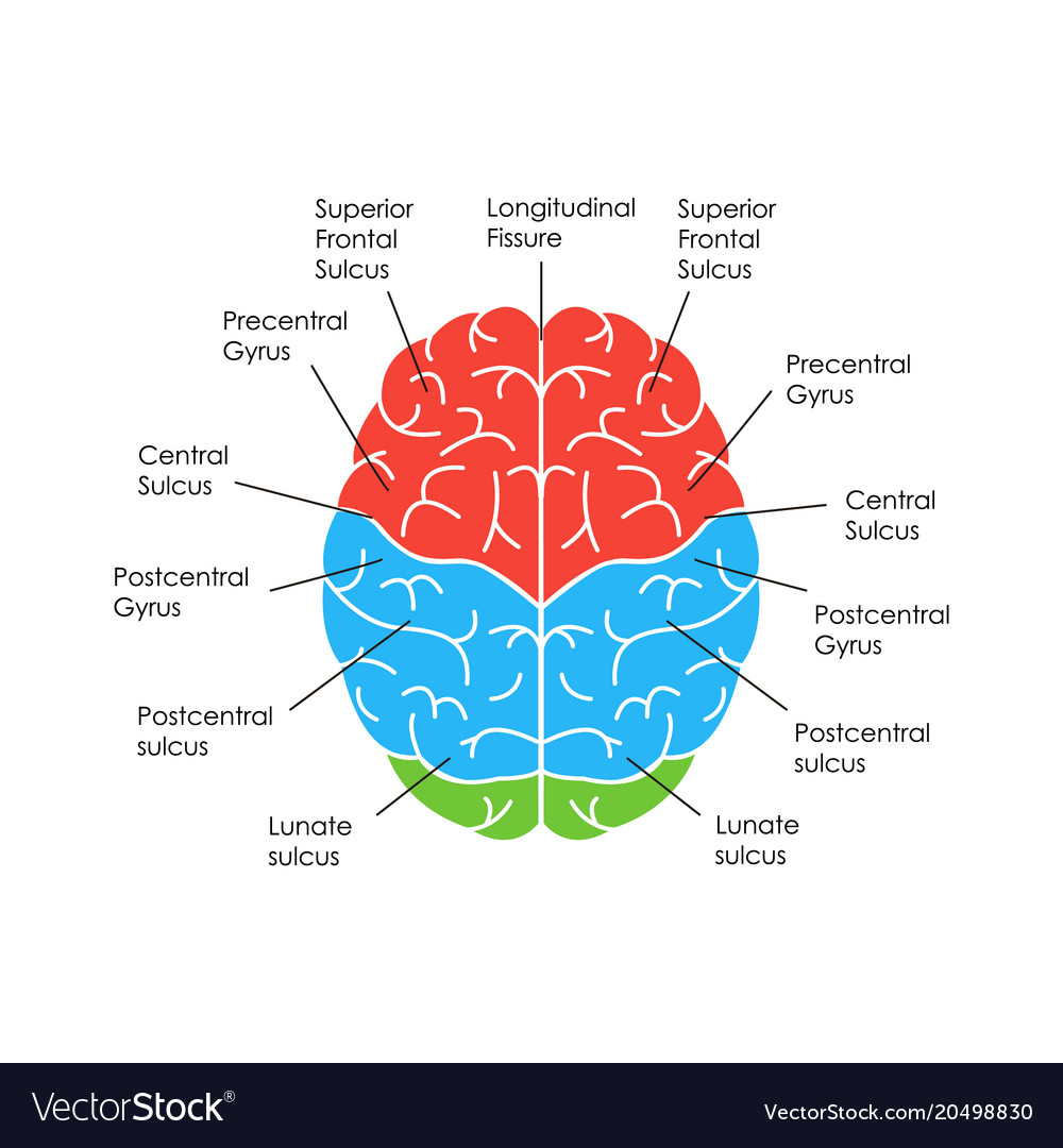 Human brain anatomy card poster Royalty Free Vector Image