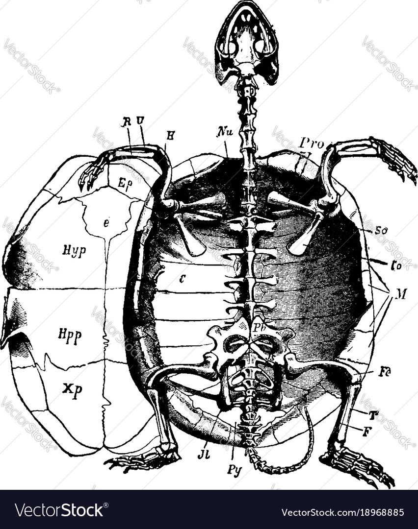 Marsh turtle skeleton vintage Royalty Free Vector Image