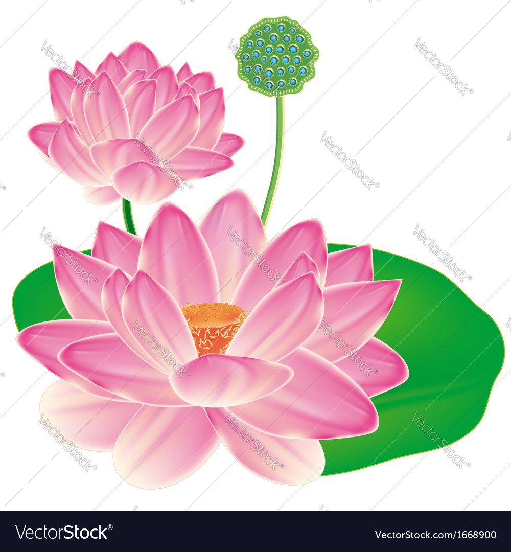 Realistic Oriental Lotus A Flower Isolated With Vector Image