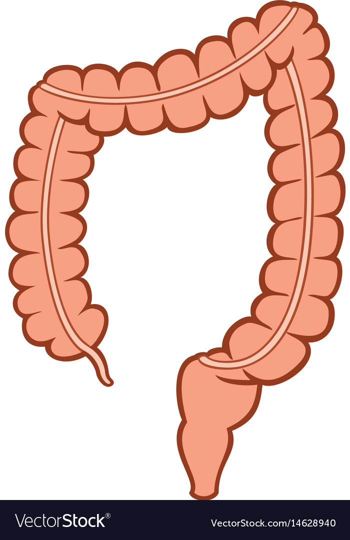 Human large intestine Royalty Free Vector Image