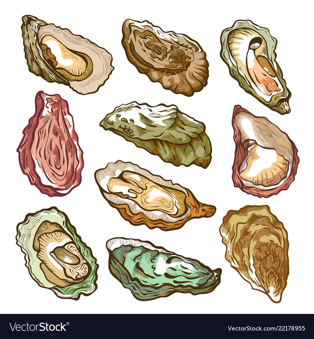 Fresh oyster hand drawn set on white