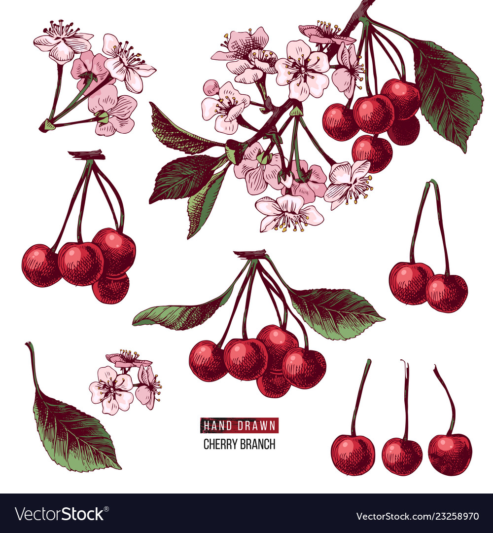 Set of cherry branches