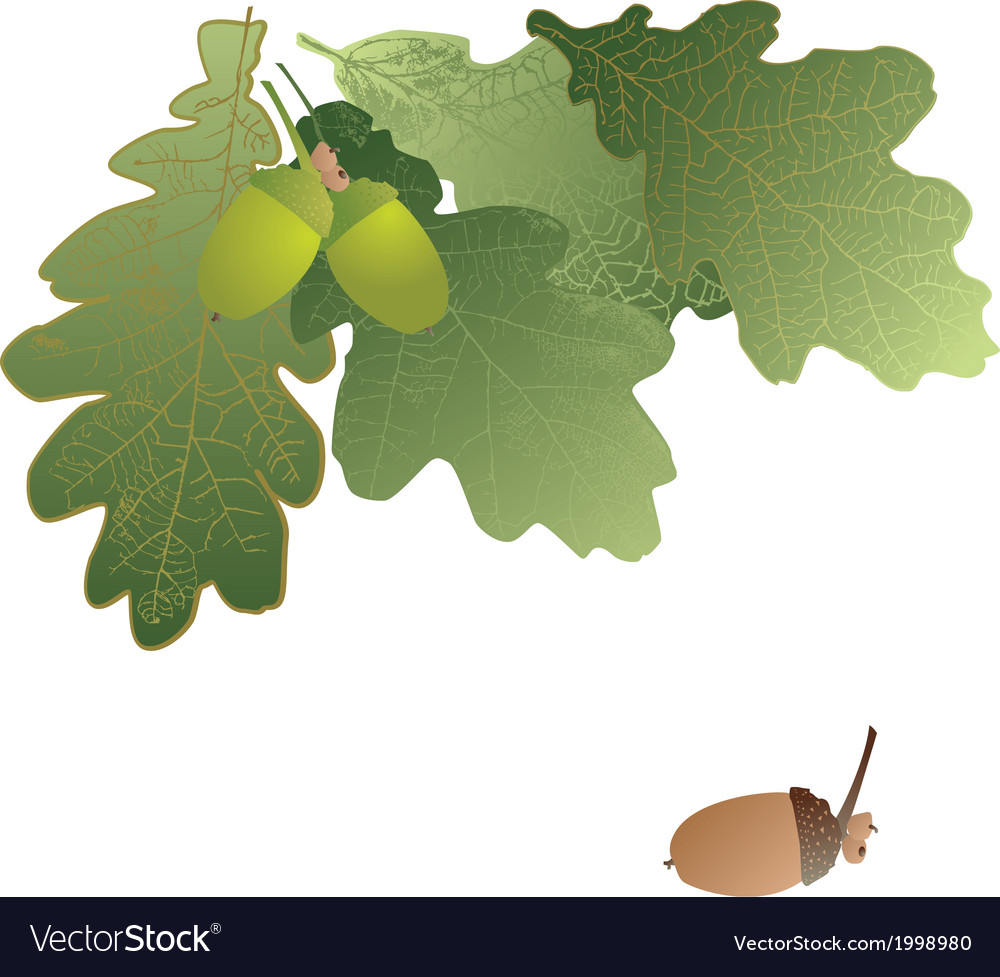 Oak leaves and acorns on transparent background vector image