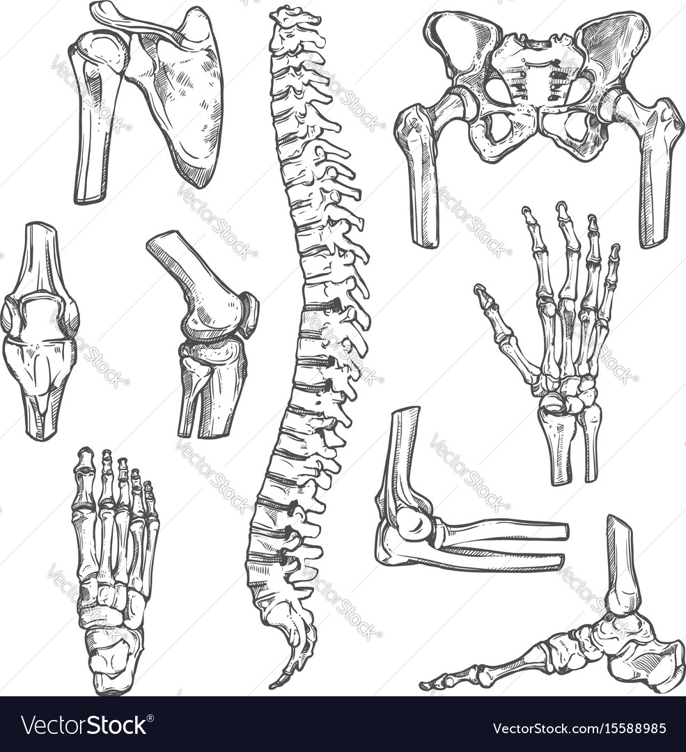Sketch Icons Of Human Body Bones And Joints Vector Image