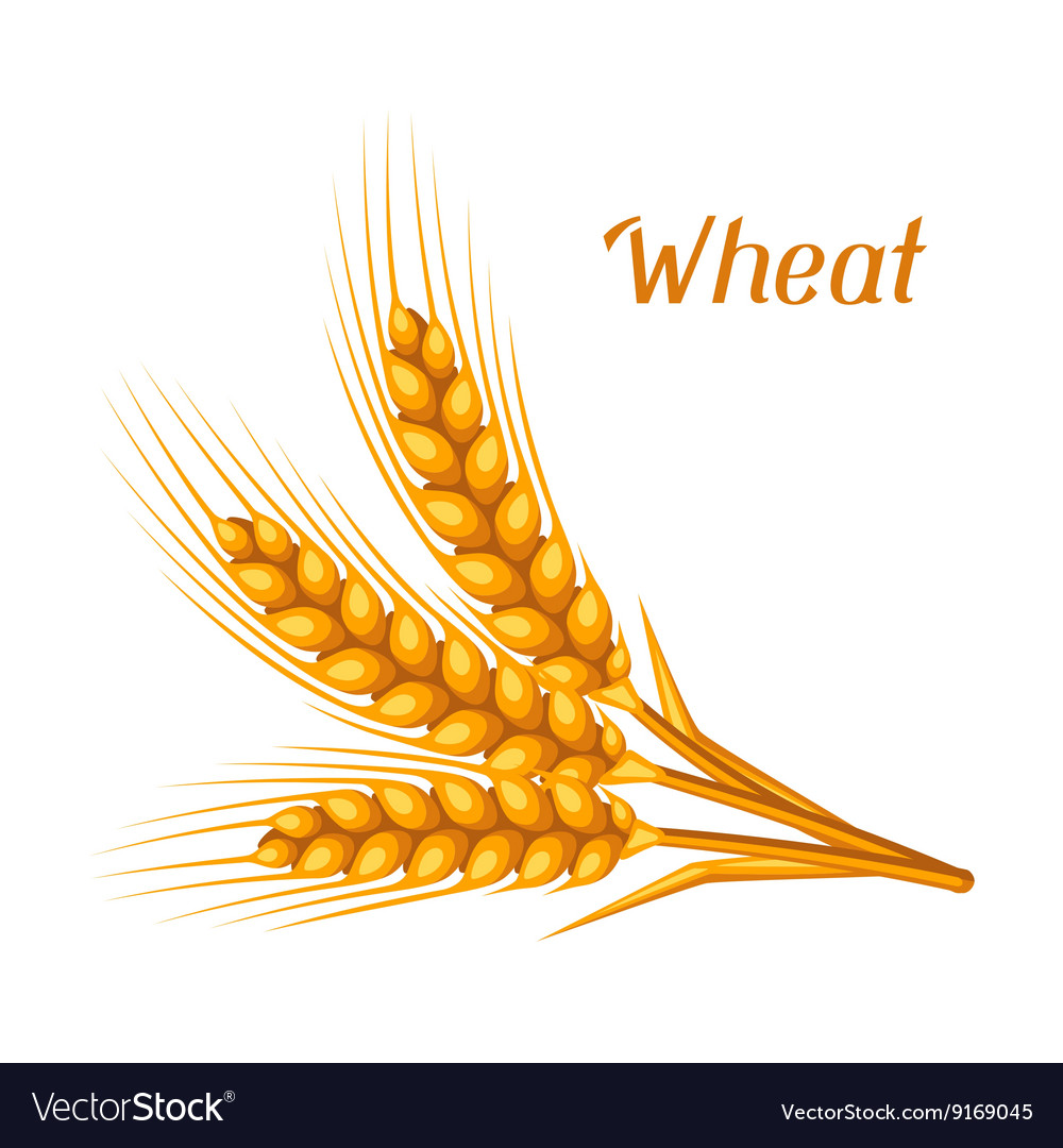 Bunch of wheat barley or rye ears Agricultural vector image
