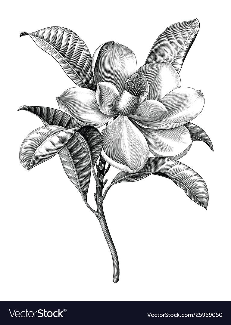 Antique engraving magnolia flower twig black