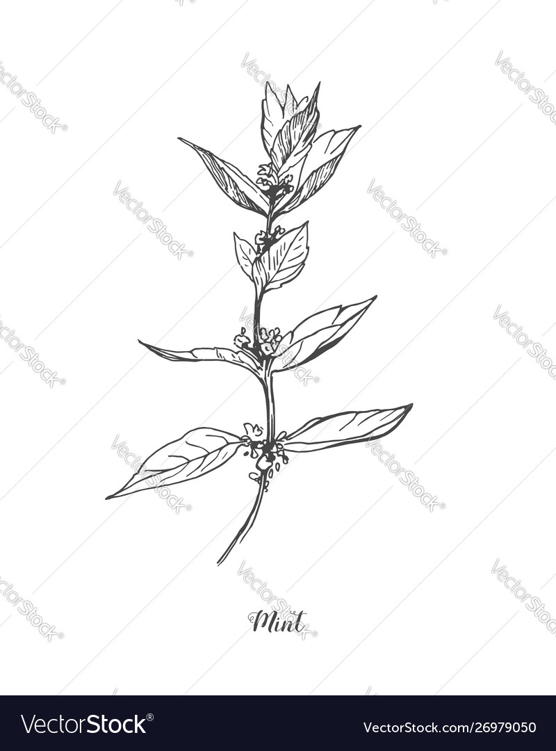 Mint drawing set isolated mint plant and