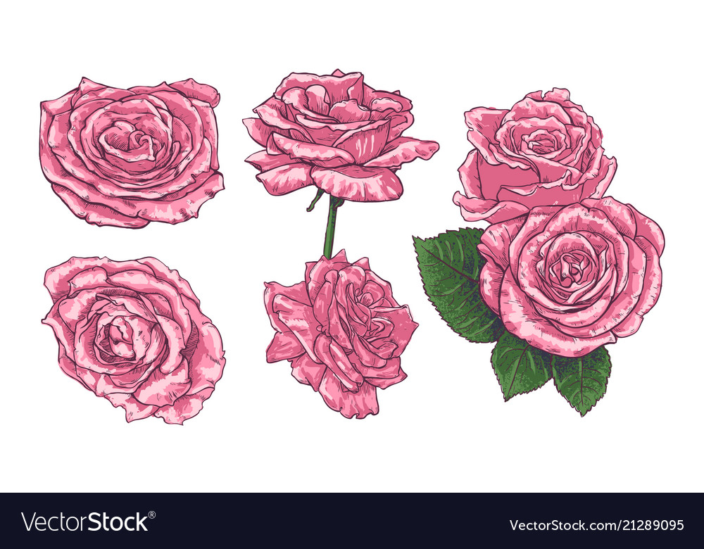 Set With Hand Drawn Roses Royalty Free Vector Image
