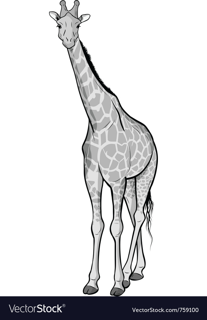 Giraffe isolated on the white