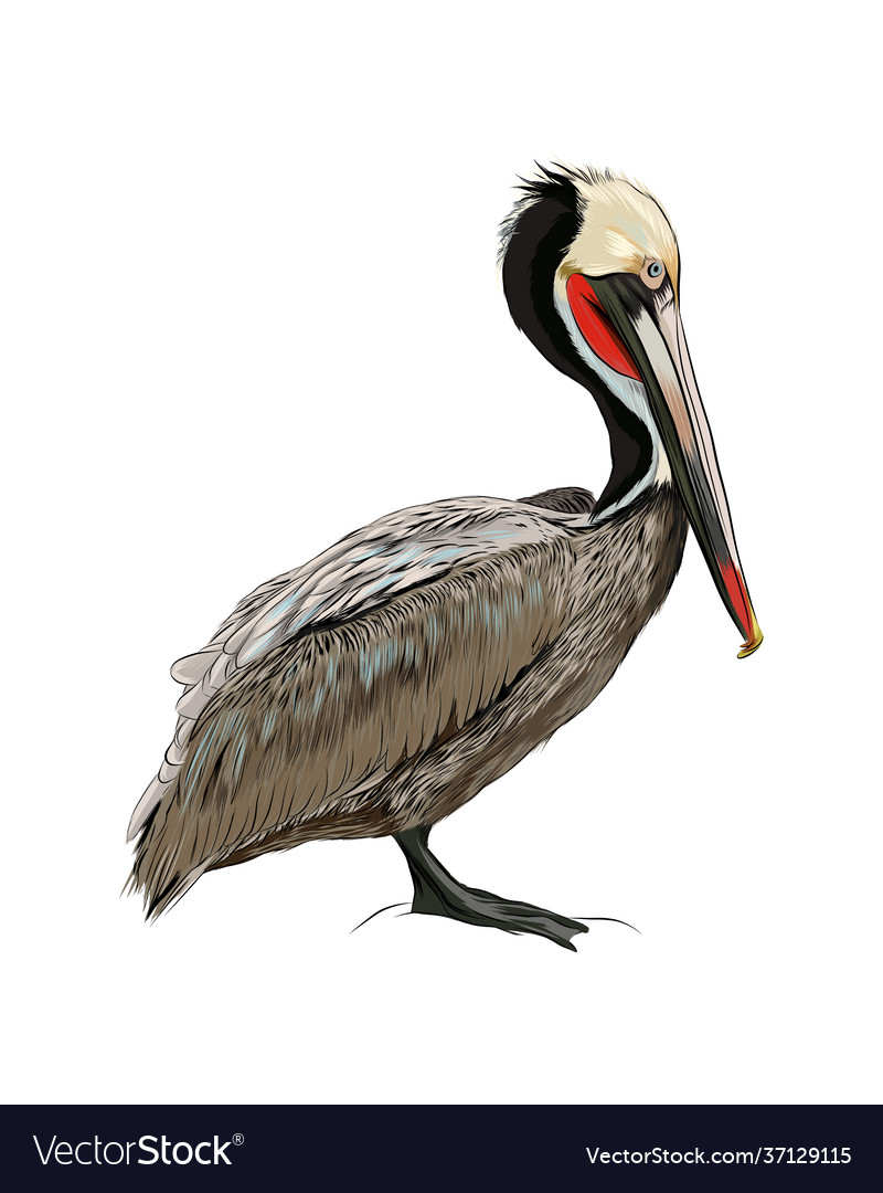 Pelican from a splash watercolor colored