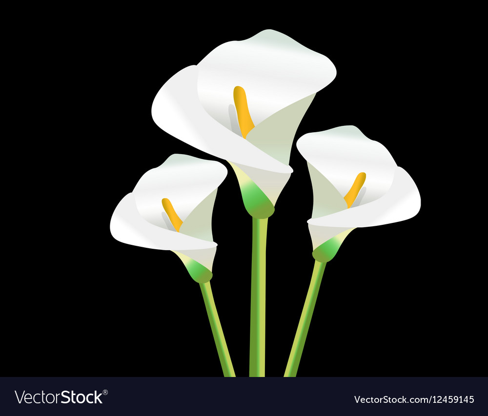 White Calla Lily Flowers Royalty Free Vector Image