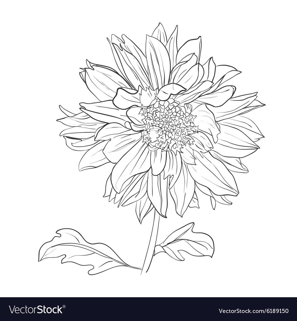 Hand drawn realistic dahlia flower