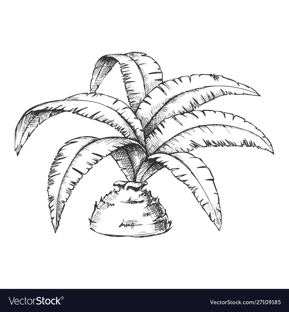 Low bottle palm tropical tree monochrome