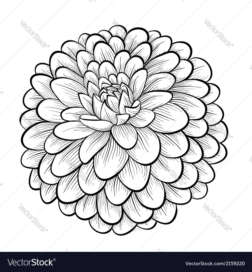 Black And White Dahlia Flower Isolated Royalty Free Vector
