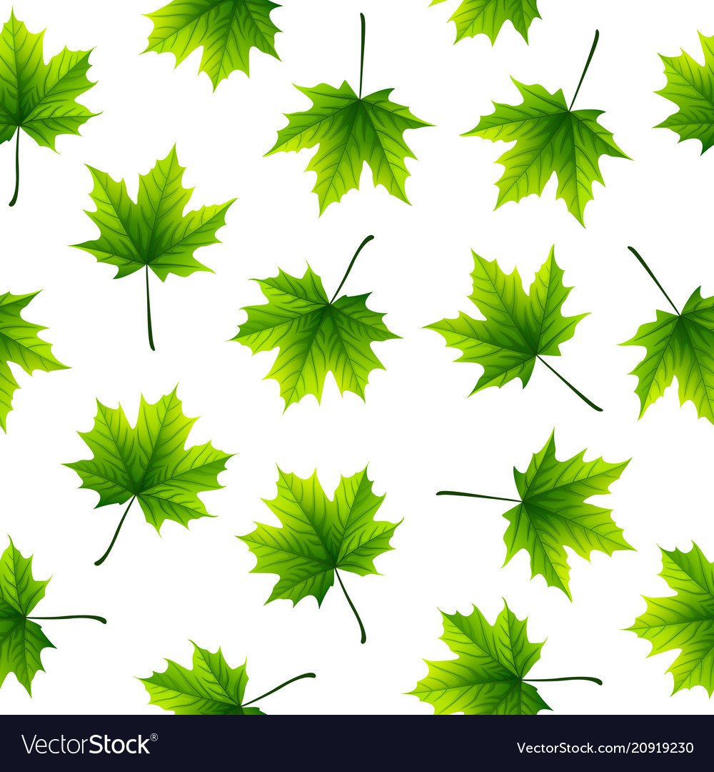 Green maple leaves isolated on white background