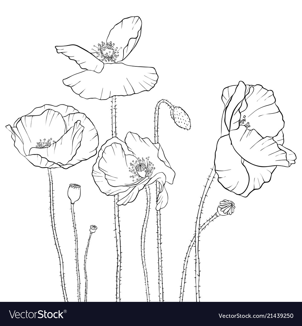 Drawing poppy flowers royalty free vector image drawing poppy flowers vector image mightylinksfo