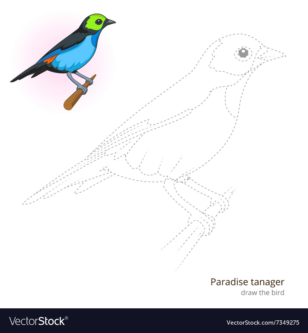 Paradise tanager bird learn to draw vector image