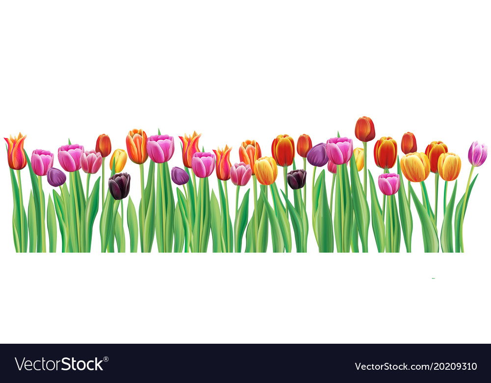 Border with multicolor tulips Royalty Free Vector Image