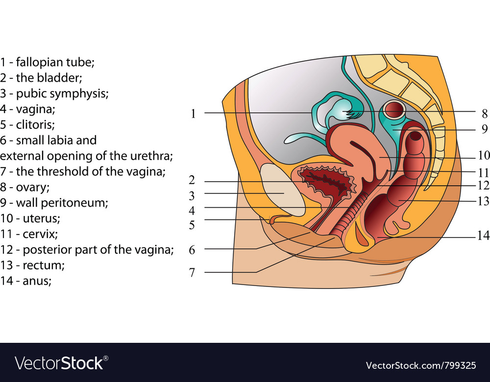 Of Female Reproductive System Poster Royalty Free Vector