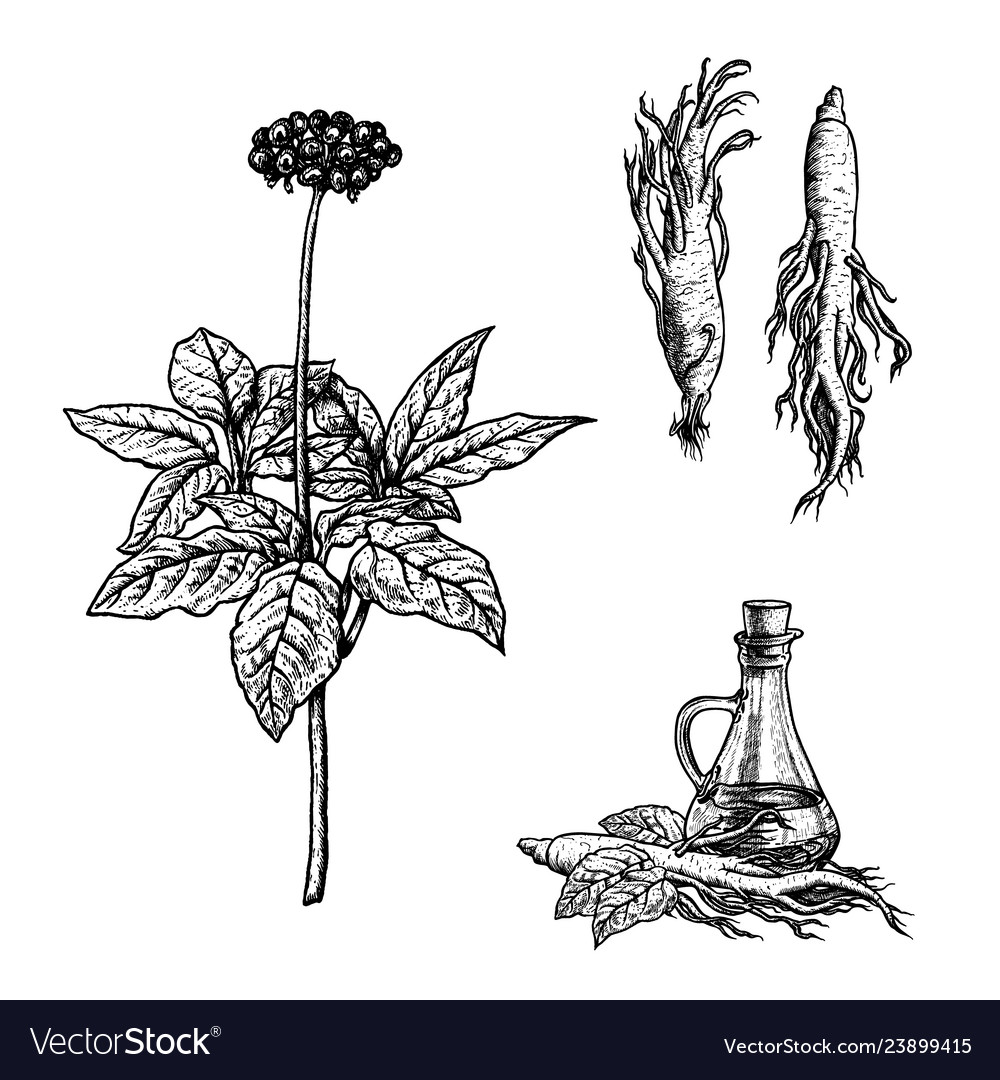 Hand drawn set of ginseng plant oil and roots