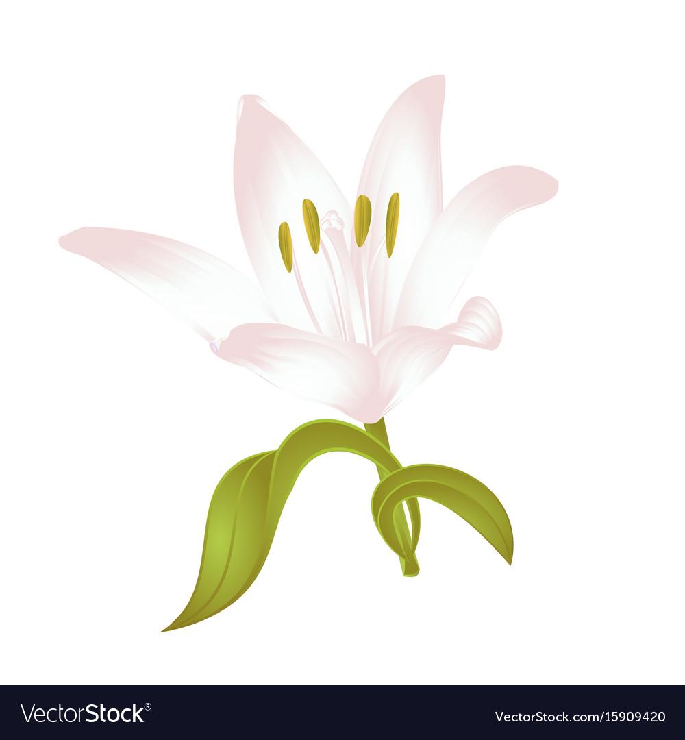 Lily white lilium candidum a white flower vector image izmirmasajfo