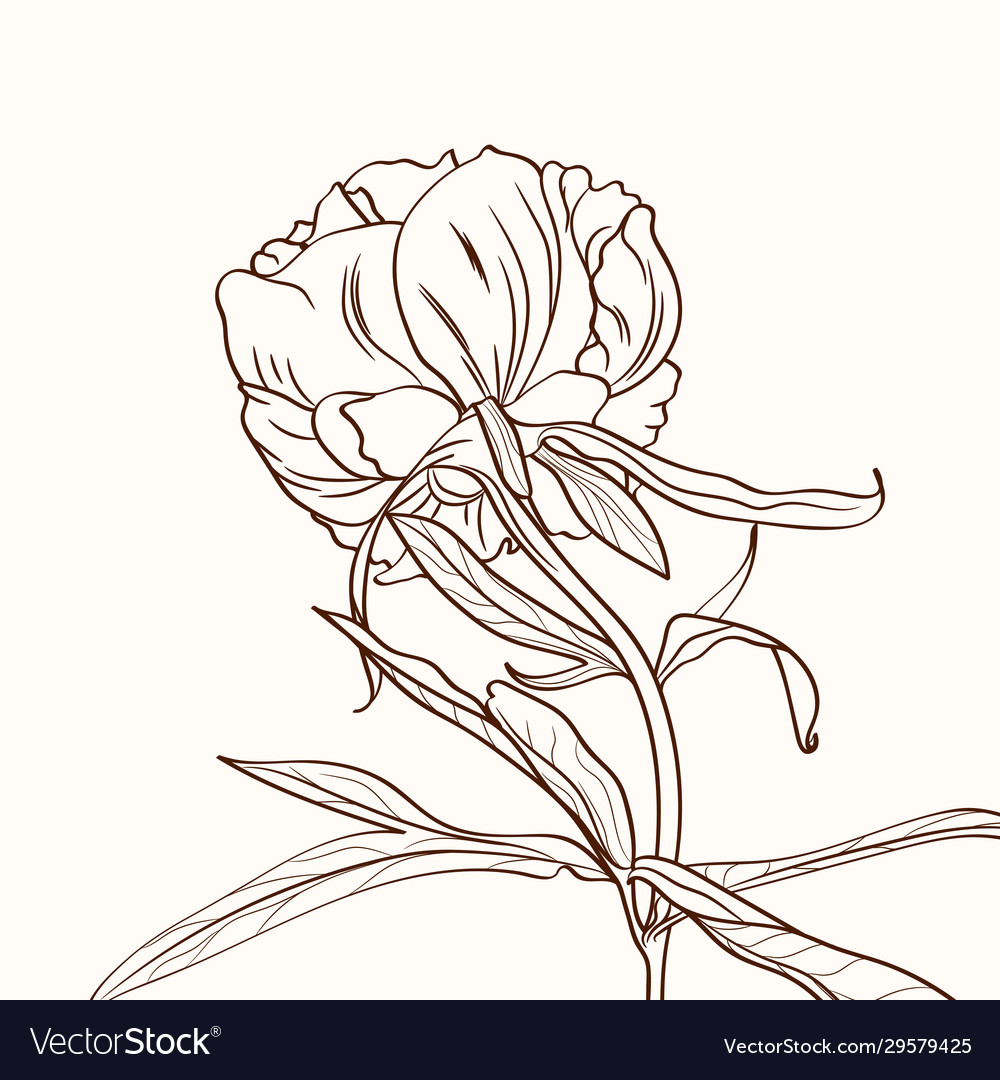 Peonies brown sepia outline on beige background