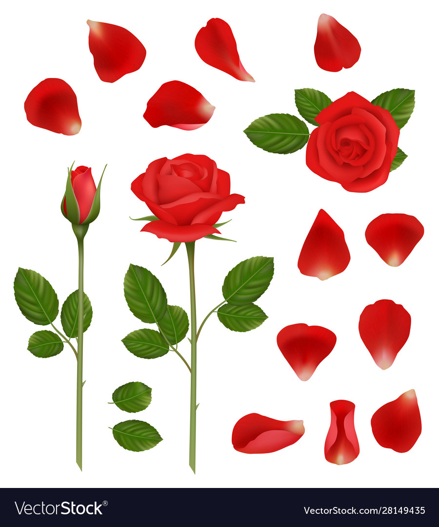 Red roses beautiful romantic flowers buds and vector
