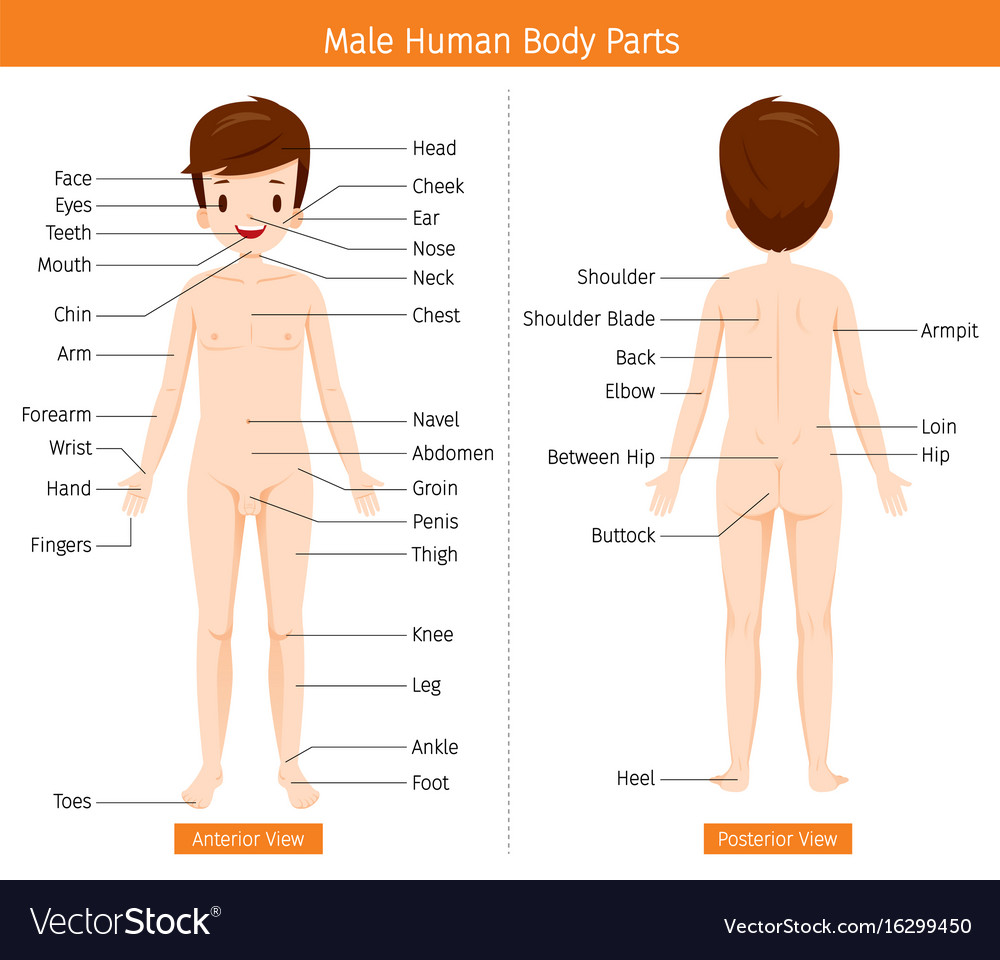 Male human anatomy external organs body Royalty Free Vector