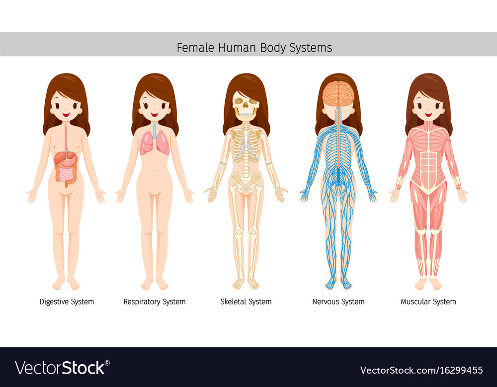 Female human anatomy body systems Royalty Free Vector Image