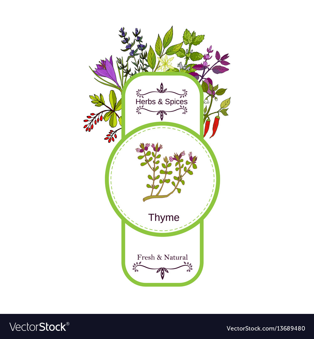Vintage herbs and spices label collection thyme